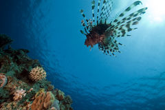 Lionfish and ocean. Stock Image