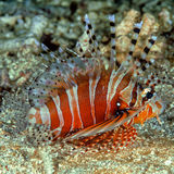 Lionfish on ocean floor Royalty Free Stock Photography