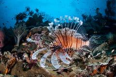 Lionfish och Coral Reef i Raja Ampat Arkivbild