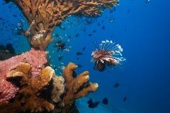 Lionfish och havsgurka under korall Royaltyfri Foto