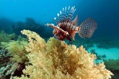 Lionfish och undervattens- landskap i Röda havet. Arkivfoto