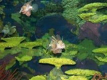 Lionfish onder het koraal Stock Foto