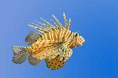 Lionfish op blauwe achtergrond Stock Foto