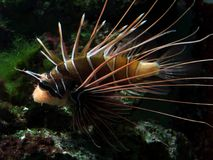 Lionfish orange et blanc Photographie stock libre de droits