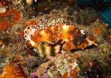 Lionfish osservato due Immagine Stock