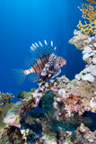 Lionfish over coral reef Royalty Free Stock Images