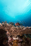 Lionfish over a table coral in the Red Sea. Royalty Free Stock Image