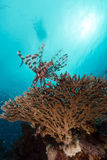Lionfish over a table coral in the Red Sea. Stock Images