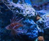 Lionfish på en korallrev royaltyfri fotografi