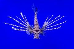 Lionfish pływanie podwodny Obraz Stock