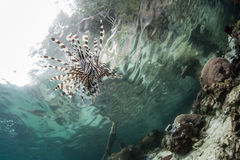 Lionfish and Pacific Reef Royalty Free Stock Image