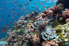 Lionfish para baixo Foto de Stock Royalty Free