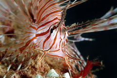 Lionfish Perhentian ö, Terengganu Arkivbild