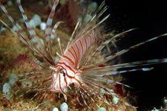 Lionfish Perhentian ö, Terengganu Royaltyfri Fotografi