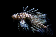 Lionfish, plein tir Image stock
