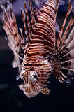Lionfish portrait Royalty Free Stock Photos