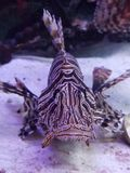 Lionfish power Royalty Free Stock Images
