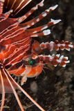 Lionfish profile Royalty Free Stock Photo