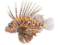 Lionfish - projeto isolado do vetor ilustração stock