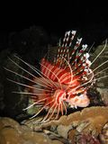 Lionfish On The Prowl Stock Image
