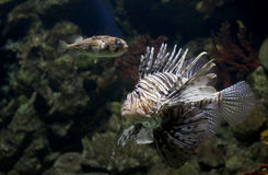 Lionfish pterois Stock Photo