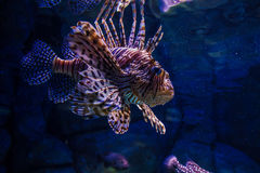 Lionfish Pterois in aquarium royalty-vrije stock foto's