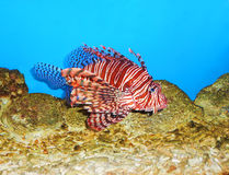Lionfish (Pterois) close up Stock Images