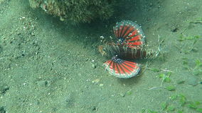 Lionfish pterois on coral reef Bali stock video
