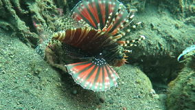 Lionfish pterois on coral reef Bali stock video footage