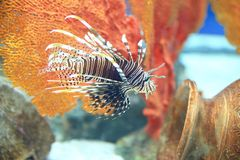 Lionfish or Pterois Stock Photography