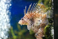 Lionfish or Pterois. Pterois is a genus of venomous marine fish, commonly known as lionfish, native to the Indo-Pacific. Pterois, also called zebrafish, firefish Stock Photo