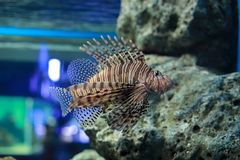 Lionfish or Pterois. Pterois is a genus of venomous marine fish, commonly known as lionfish, native to the Indo-Pacific. Pterois, also called zebrafish, firefish Royalty Free Stock Photography