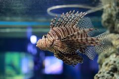 Lionfish or Pterois. Pterois is a genus of venomous marine fish, commonly known as lionfish, native to the Indo-Pacific. Pterois, also called zebrafish, firefish Royalty Free Stock Images