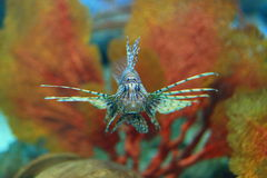 Lionfish. Pterois is a genus of venomous marine fish, commonly known as lionfish, native to the Indo-Pacific. Pterois, also called zebrafish, firefish Stock Photography