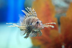 Lionfish. Pterois is a genus of venomous marine fish, commonly known as lionfish, native to the Indo-Pacific. Pterois, also called zebrafish, firefish Royalty Free Stock Images
