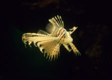 Lionfish floating in the dark sea. Pterois is a genus of venomous marine fish, commonly known as lionfish, native to the Indo-Pacific. Pterois, also called Stock Photos