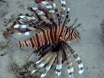 Lionfish (Pterois miles) Stock Photos