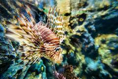 Lionfish or Pterois miles Royalty Free Stock Images