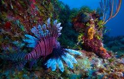 Lionfish (Pterois) nära korall, Cayo Largo, Kuba Royaltyfria Foton