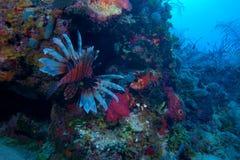 Lionfish (Pterois) near coral, Cayo Largo, Cuba Royalty Free Stock Image