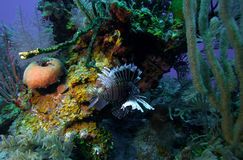 Lionfish (Pterois) near coral, Cayo Largo, Cuba Royalty Free Stock Photography