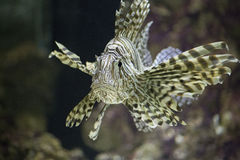 Lionfish - Pterois. A lionfish or Petrois in an aquarium Royalty Free Stock Photo