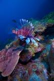 Lionfish (Pterois) près de corail, Cayo largo, le Cuba image stock