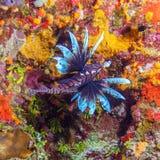 Lionfish (Pterois) vicino a corallo, largo di Cayo fotografia stock libera da diritti