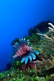 Lionfish (Pterois) vicino a corallo, Largo di Cayo, Cuba fotografie stock