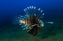 Lionfish (Pterois volitans) Royalty Free Stock Images