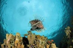 Lionfish (Pterois volitans) Stock Photos