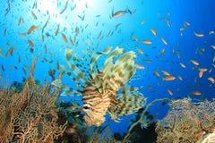 Lionfish (Pterois volitans) Stock Photo
