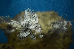 Lionfish pterois volitans Royalty Free Stock Photography