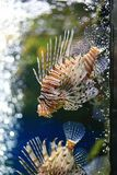 Lionfish – Pterois volitans Stock Photography
